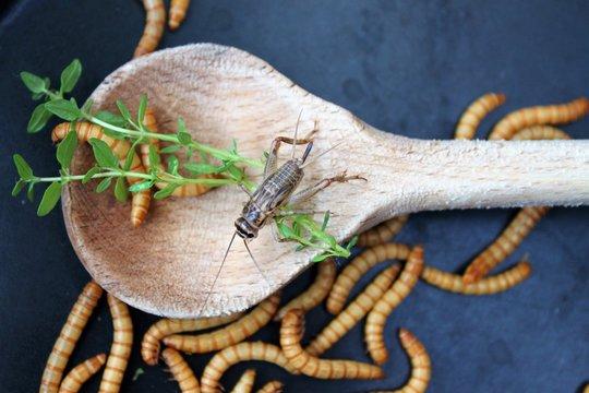 Mehlwürmer in Pfanne, Insekten als Nahrung/Grille und Würmer neben und auf holzenem Kochlöffel, rustikales Mahl im asiatischen Stil/alternative Mahlzeit, kochen mit Insekten