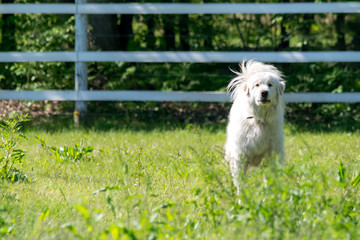 Great Pyrenese 3