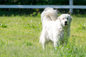 Great Pyrenese 2