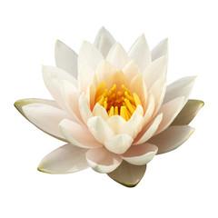 Garden Poster Lotus flower The white lotus isolated on white background
