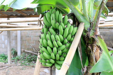 Banana tree with a bunch growing in  organic farm,  In The north of Thailand. The one of the famous tropical fruit in the world. Bananas, ripe cultivated banana.