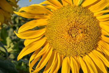 Sunflower on large sunflowers field on blue sky background