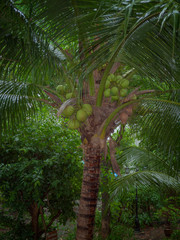 Coconut tree , While it is raining.
