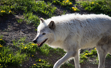 Close up of a gray wolf walking toward the left. Photographed in profile at the Grizzly and Wolf Discovery Center, West Yellowstone, Montana.