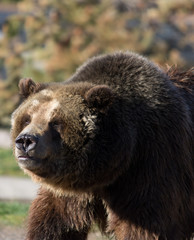 Close up of a grizzly bear facing the camera looking to the left. The face, fur and hump are seen in detail. Photographed in West Yellowstone, Montana.