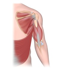 Muscles acting on the humerus, back view.