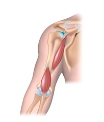 Deep muscle of the arm.