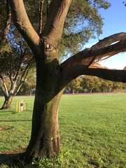 Tree limb split