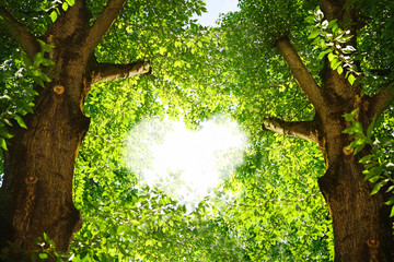 Wall Mural - Silhouette of a heart in the foliage of trees poplar. Two beautiful textured tree trunks with green juicy leaves in the rays of sunlight.