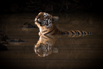 Bengal tiger lifts head in water hole