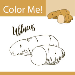 Education coloring page with vegetable. Hand drawn vector illustration of ullucus.