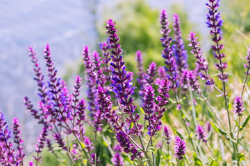 Salvia, purple summer flower of meadow sage plant background