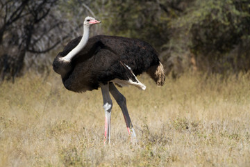 ostrich in the savannah of botswana