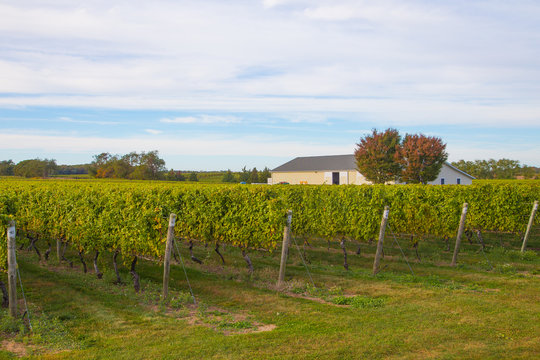 Vineyard at Long Island, New York, USA