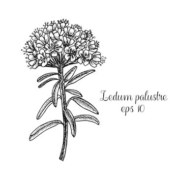 Hand drawn ink illustration of ledum palustre