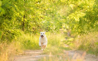 Closeup photo of a beauty Labrador dog
