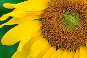 closeup of beautiful sunflower blooming at garden