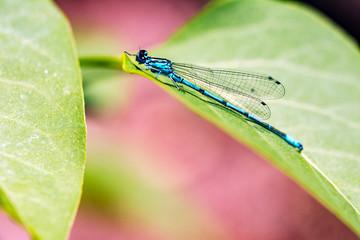Blue dragonfly sitting on a leaf