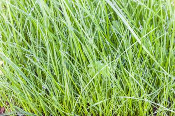 gouttes de rosée matinale sur brins d'herbe