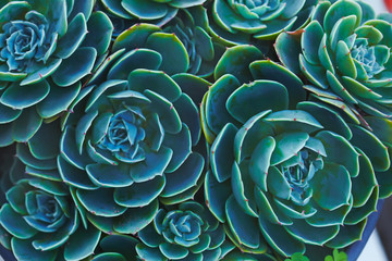 Sempervivum or houseleeks background pattern beautiful color fresh