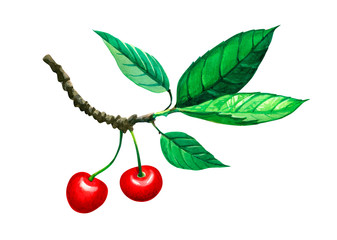 Sweet cherry twig with berries and leaves isolated on white watercolor illustration