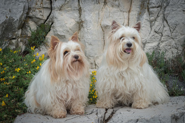two white yorkshire