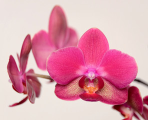 Beautiful orchid flowers blossom on beige background closeup