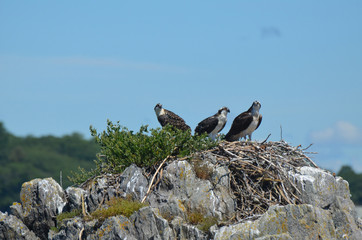 Trio of Three Ospreys Perched on a Nest