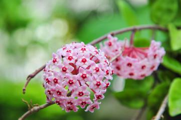 twin pink hoya
