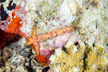 sea star regrowing arm after predator eated them