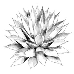 Bush agave of red top view sketch vector graphics black and white drawing