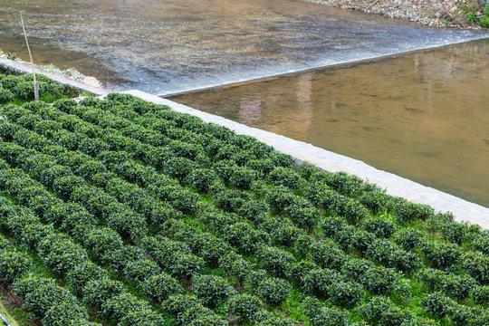 green tea plantation near irrigation canal
