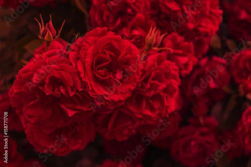 rote rosen stockfotos und lizenzfreie bilder auf bild 158771708. Black Bedroom Furniture Sets. Home Design Ideas