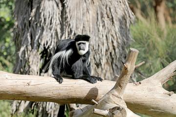 Black sloth sitting on wooden deck