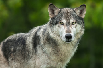 Fotomurales - Grey Wolf (Canis lupus) Looks Out Head and Body