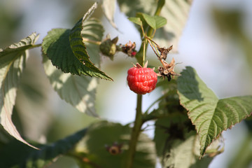 Organic ripe red raspberries on the bush