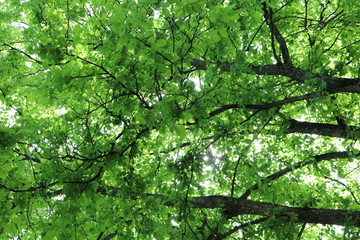 Leaves and branches of elm against the sky and sun