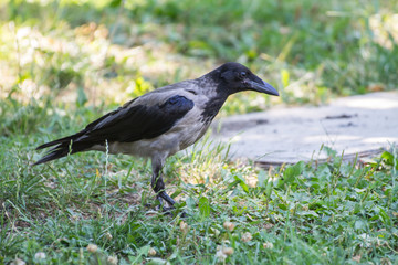Black and Gray Colored Hooded Crow on park background