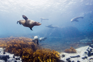 seals underwater off montague island australia