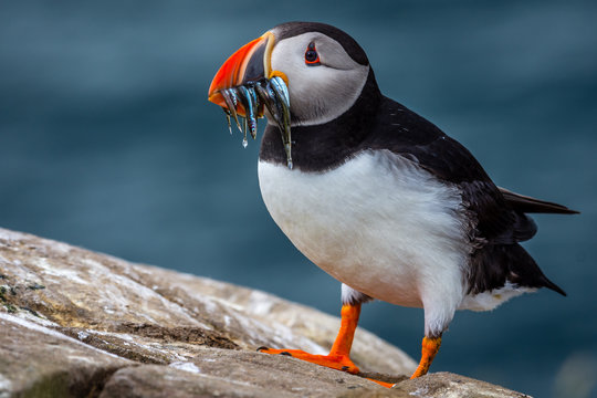 Close up of puffin with sand eel in beak