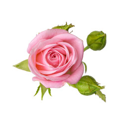 Pink rose with buds isolated on white background