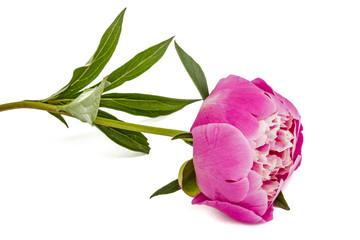 Rose flower of peony, lat. Paeonia, isolated on white background