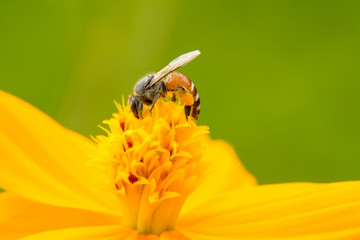 Bee eating pollen from flower on a nature background.