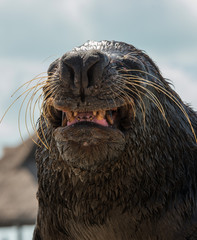 smiling Seal showing teeth