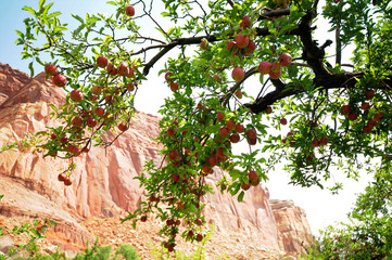 Capitol Reef Apples