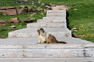 Marmot at Logan's Pass