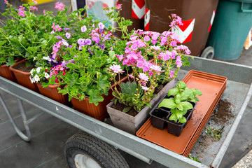 Cart full of flowers in a garden shop or Park. potted plants for planting in open ground.