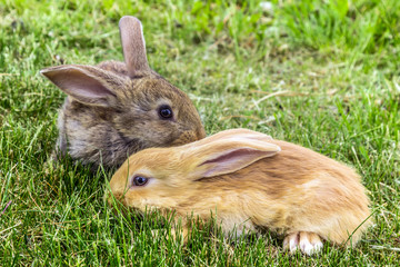 grey and red young rabbits