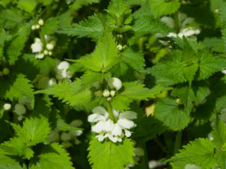 White dead-nettle, Lamium album, in weed blooming close-up, selective focus, shallow DOF