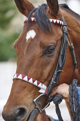Race horse head detail ready to run. Paddock area.